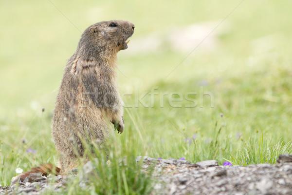 Alpine Marmot - Marmota Stock photo © chrisroll