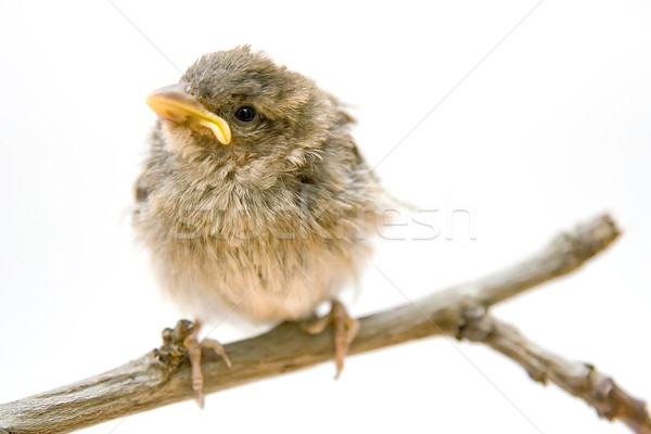 Bird on a branch Stock photo © chrisroll