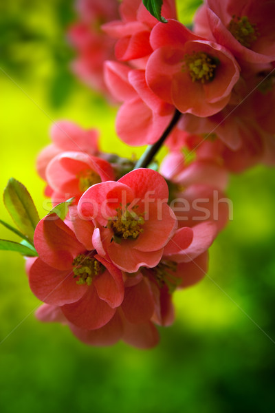 Japenese flowering crabapple flowers Stock photo © chrisroll