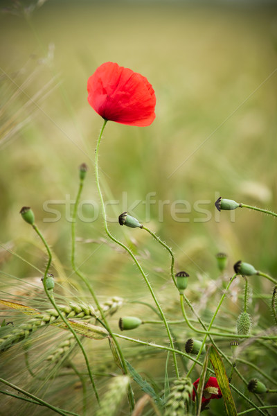 Rood poppy gerst veld bloem tuin Stockfoto © chrisroll