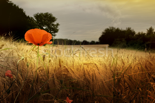 Red poppy in prairie Stock photo © chrisroll
