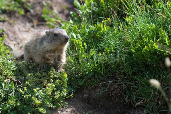alpine baby marmot Stock photo © chrisroll
