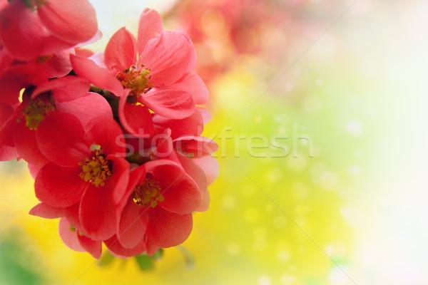 Japanese flowering crabapple Stock photo © chrisroll