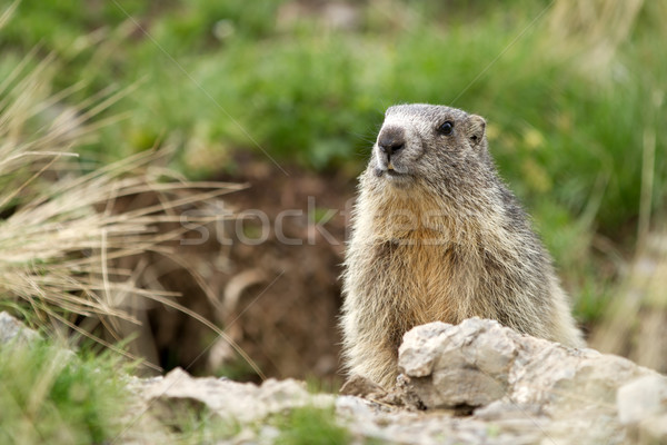 Alpine Marmot - Marmota Marmota Stock photo © chrisroll