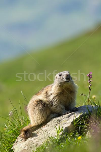 アルプス山脈 かわいい 太陽 自然 山 山 ストックフォト © chrisroll