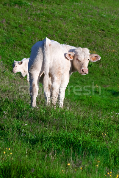 Cow in a prairie Stock photo © chrisroll