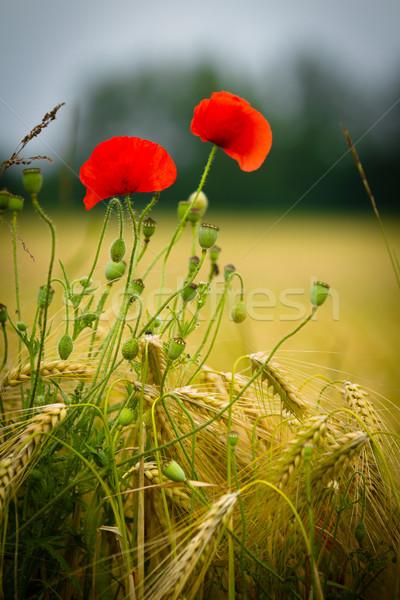 赤 ケシ 大麦 フィールド 花 庭園 ストックフォト © chrisroll
