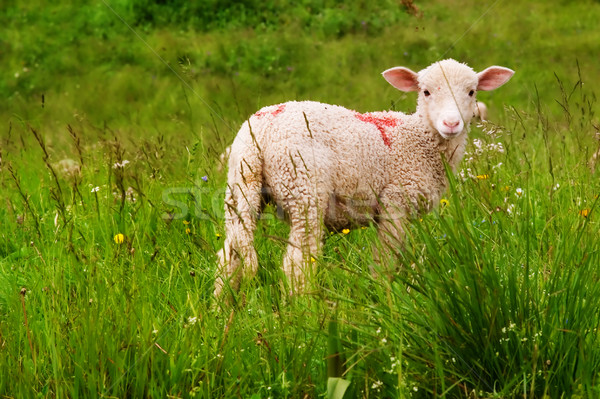 lamb in a meadow Stock photo © chrisroll