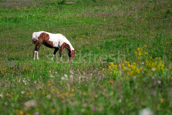 horse grazing in a prairie Stock photo © chrisroll