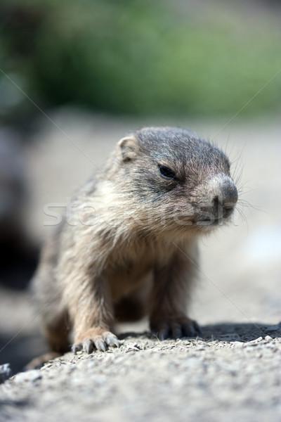 baby marmot close-up Stock photo © chrisroll
