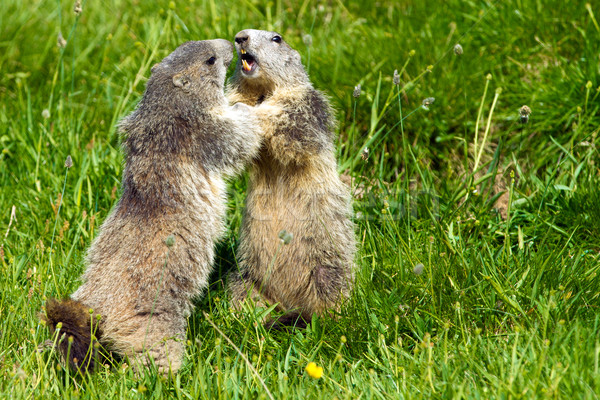 marmot in the alps Stock photo © chrisroll
