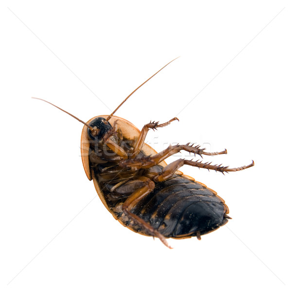 Dead cockroach isolated over white Stock photo © cienpies