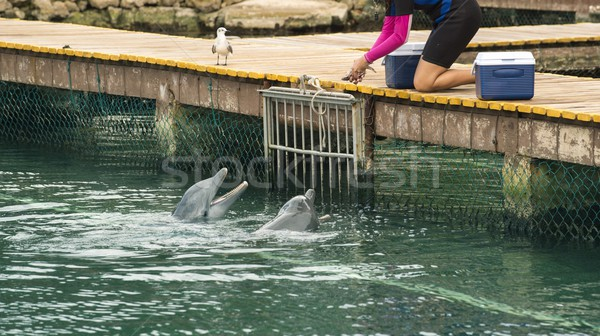 Animal trainer feeding dolphins on summer vacation Stock photo © cienpies