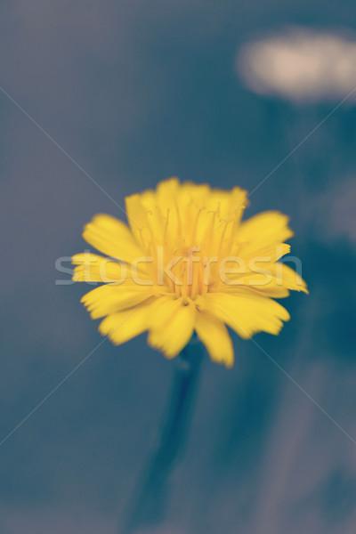 желтый цветок Vintage Blur ярко эффект Сток-фото © cienpies