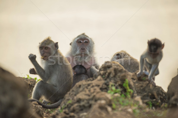 Wild monkey family habitat wildlife conservation Stock photo © cienpies