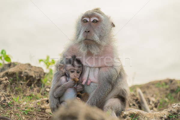 Wildlife wild monkey mother baby habitat Stock photo © cienpies