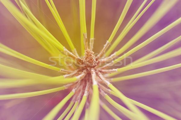 Pine tree branch macro close up Stock photo © cienpies