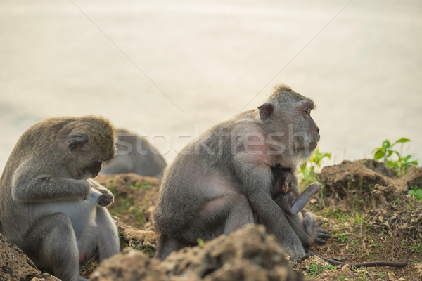 Wild monkey family mom baby wildlife habitat Stock photo © cienpies