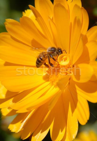 Bee on yellow flower Stock photo © cienpies