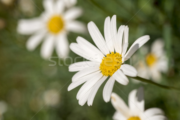 Sauvage Daisy champ de fleurs été saison temps Photo stock © cienpies