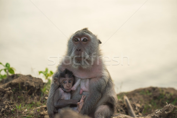 Wild monkey mom baby feeding wildlife campaign Stock photo © cienpies