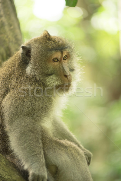 Wild monkey sitting tree wildlife campaign animal Stock photo © cienpies