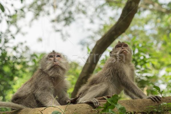 Wild aap boom leefgebied natuur wildlife Stockfoto © cienpies