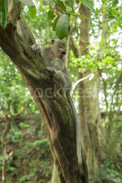 Wildlife wild monkey tree jungle environment Stock photo © cienpies