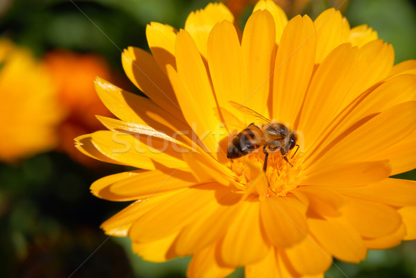 Yellow flower and Bee Stock photo © cienpies