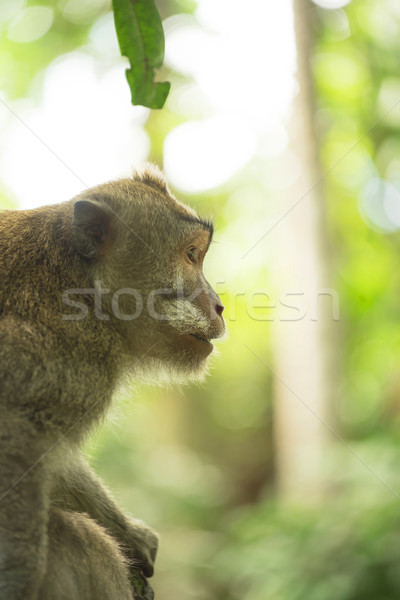 Wild monkey jungle tree profile wildlife campaign Stock photo © cienpies