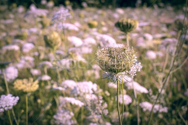 Vintage paisaje flores silvestres campo floral naturaleza Foto stock © cienpies
