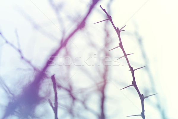 Thorn branch closeup in winter sky  Stock photo © cienpies