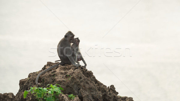 Wild monkey and baby in natural habitat Stock photo © cienpies