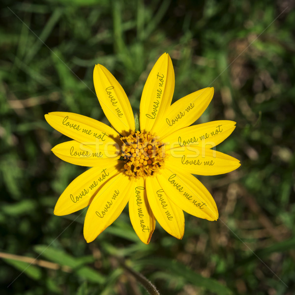 Loves me not yellow daisy flower concept Stock photo © cienpies