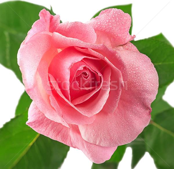 ピンクのバラ 花 カバー 露 孤立した 白 ストックフォト © Cipariss