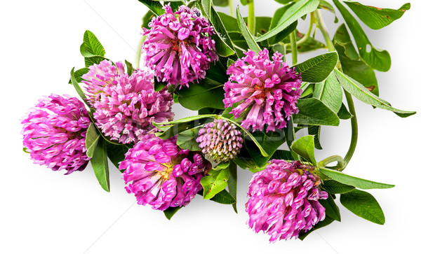 Bouquet of clover flowers with green leaves Stock photo © Cipariss