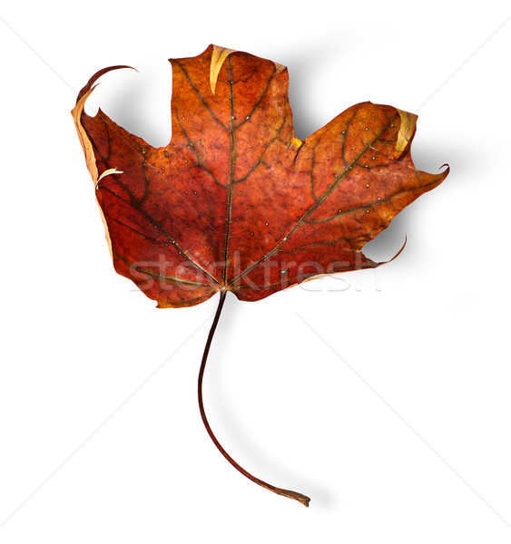 Dry maple leaf with curled edges vertically Stock photo © Cipariss