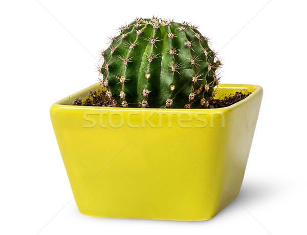 Vert cactus jaune pot à fleurs isolé blanche Photo stock © Cipariss