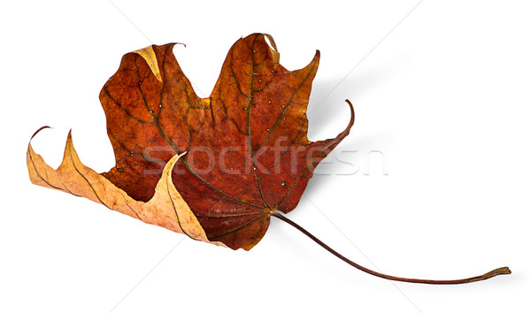 Secar maple leaf isolado branco planta Foto stock © Cipariss