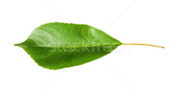 Single green leaf of cherry horizontally Stock photo © Cipariss