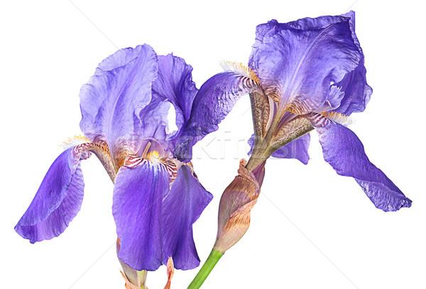 два Iris цветы изолированный белый Сток-фото © Cipariss