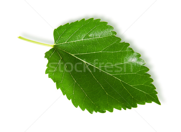 Single green leaf mulberry Stock photo © Cipariss
