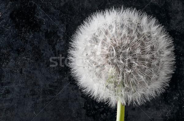 Dandelion escuro flor primavera grama Foto stock © Cipariss