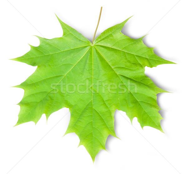 Verde foglia d'acero isolato bianco foglia sfondo Foto d'archivio © Cipariss
