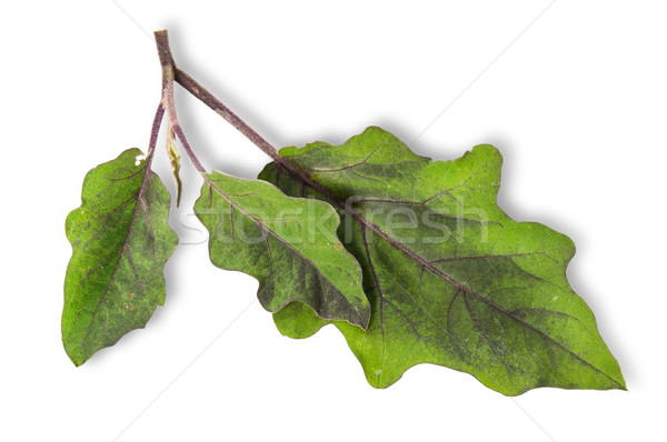 Several green leaves of eggplant Stock photo © Cipariss