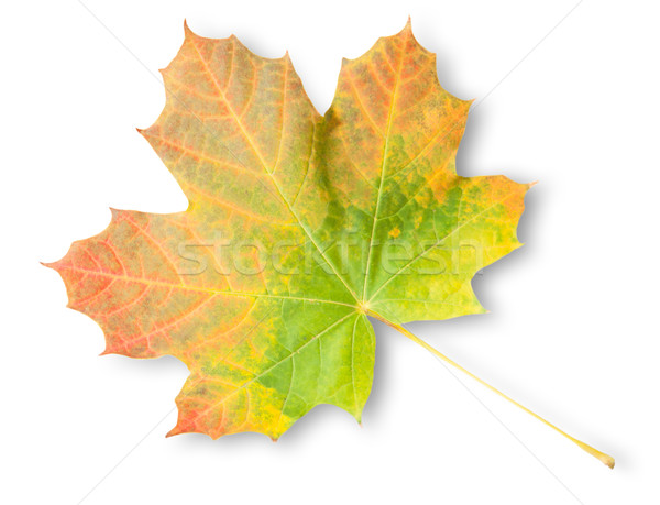Multicolored Autumn Maple Leaf Stock photo © Cipariss
