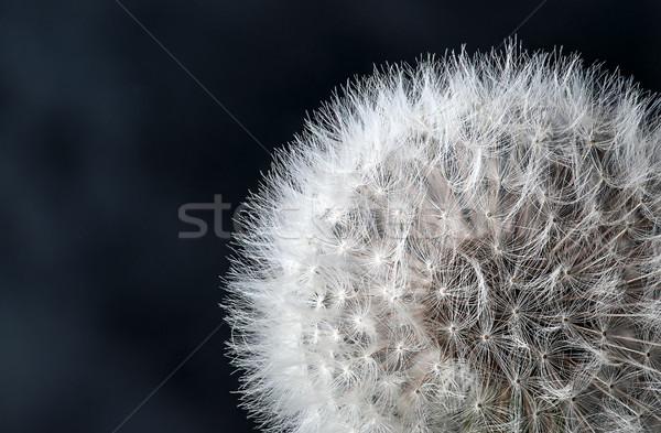 Stock fotó: Közelkép · pitypang · magok · fekete · virág · tavasz