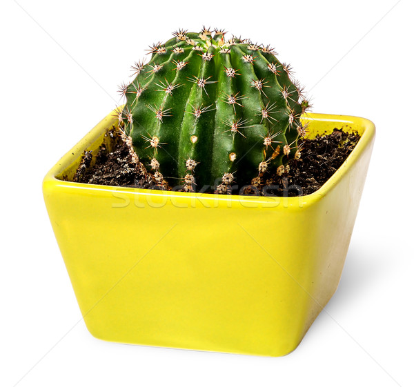 Cactus in the yellow flowerpot top view Stock photo © Cipariss