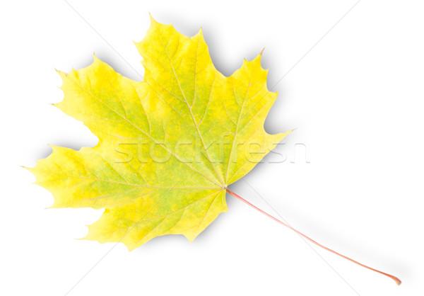 Giallo verde autunno foglia d'acero isolato bianco Foto d'archivio © Cipariss