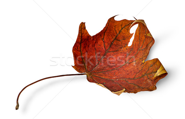 Secar maple leaf isolado branco planta Foto stock © Cipariss